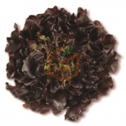 Palamut (Red Oak Leaf) adet