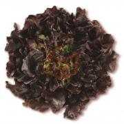 Palamut (Red Oak Leaf) adet