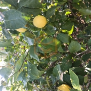 Dalından Limon Taze