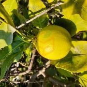 Limon 10 Kilo