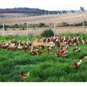 Gezen Tavuk Köy Yumurtası