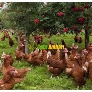 Köy Yumurtası Gezen Tavuk
