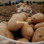 Taze Kışlık 20 Ton Patates