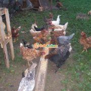 Köy Tavuğu Ve Yumurtası