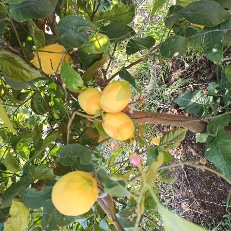 Dalından Limon Taze | Gıda Ambarı